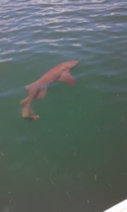 Clearwaters beach best shark fishing guide and charter