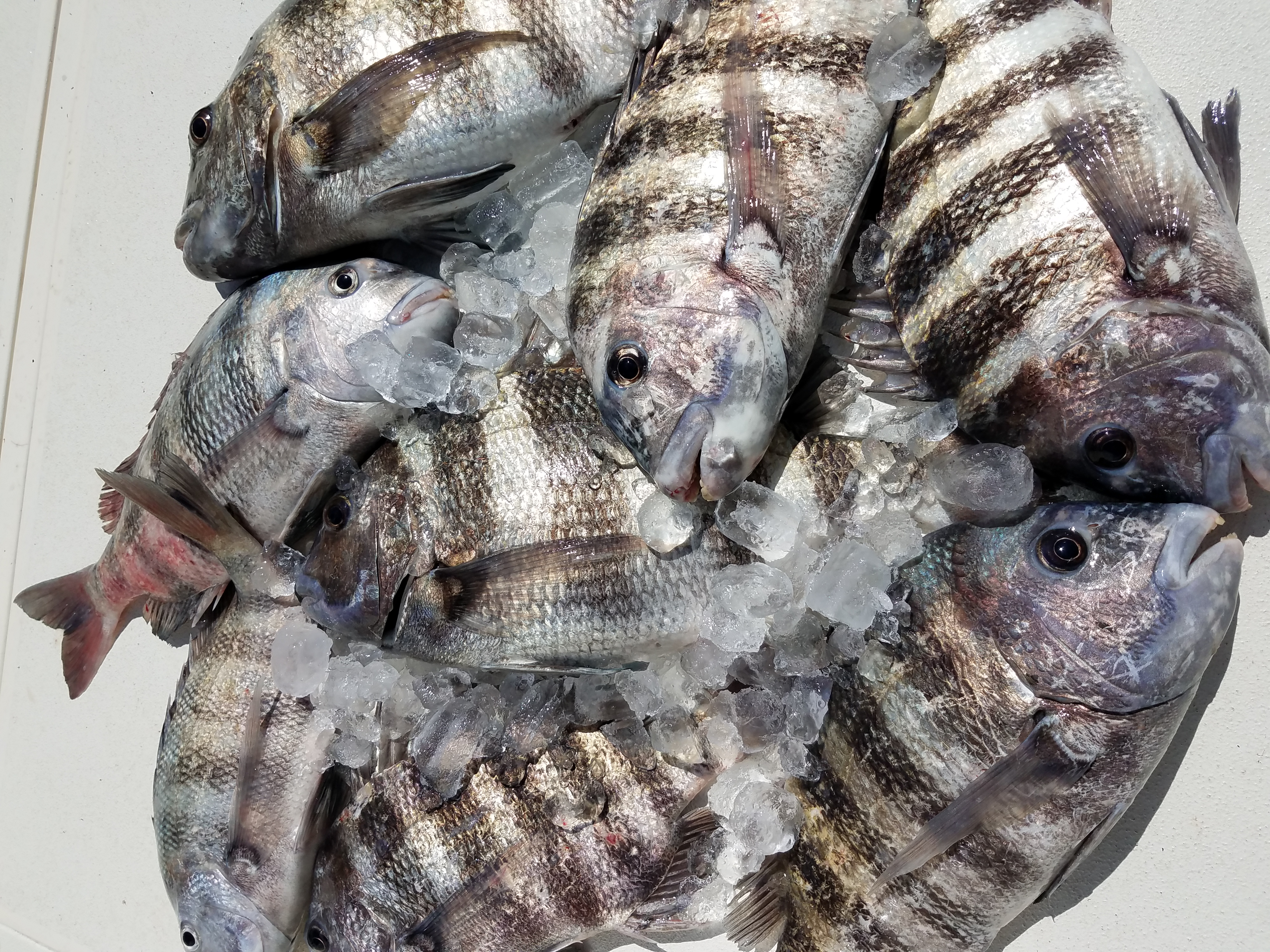 Sheepshead caught deep sea fishing trip out of clearwater beach florida