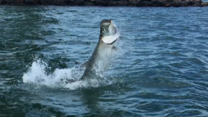 tarpon jump while fishing charter guide capt.jared - Copy