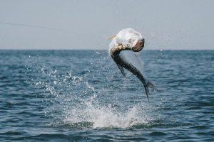 Capt.Ethan Tarpon Fly Fishing Charters