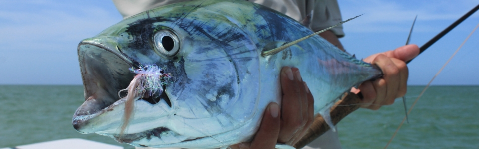 bonito on fly tampa bay clearwater fishing compnay